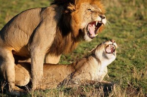 Lions having sex outside marriage